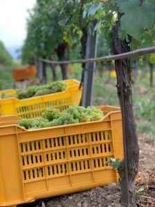 Oost 2019, Harvest, grapes, druiven. Corte Aura Franciacorta wijngaard