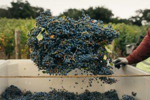 druiven, wijngaarden, wijnhuis, wijnmaker