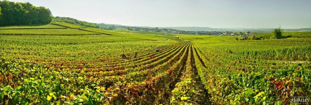 Mailly Grand Cru Champagne, wijngaarden