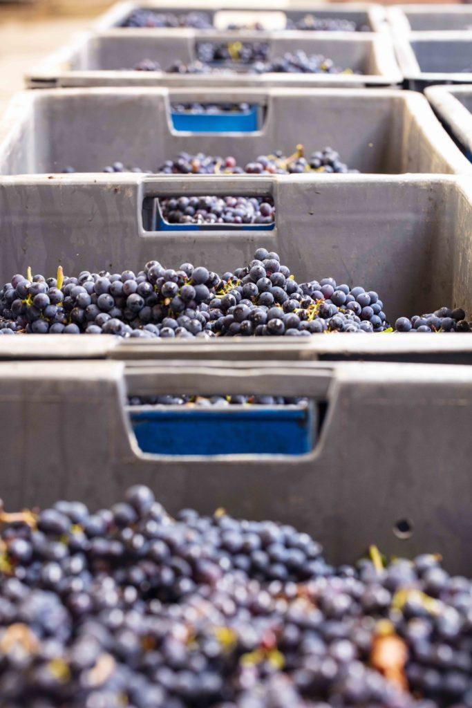 Mailly Grand Cru Champagne Oogsten , wijngaarden